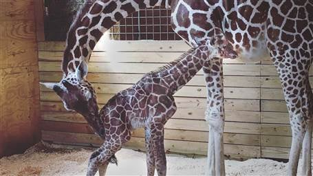 SC 'Giraffe Mom' meets infamous April the giraffe