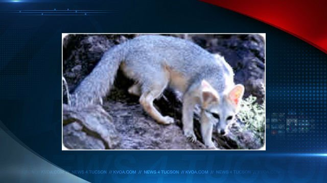 Gray fox (Arizona Game and Fish file photo)