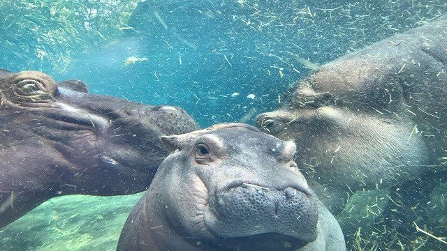 Best family photo ever! Fiona the hippo's first photo with proud parents