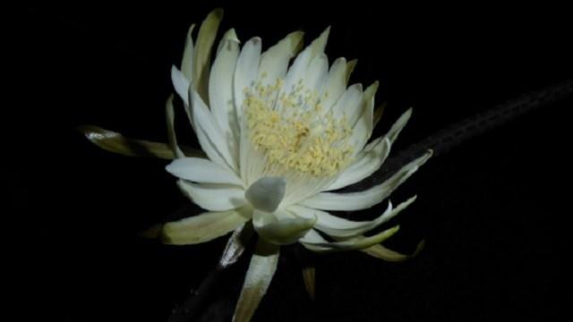 Peniocereus greggii (night-blooming cereus)