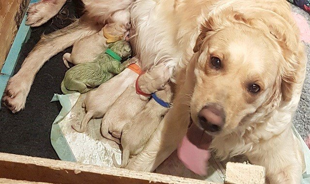 Golden Retriever gives birth to rare green puppy