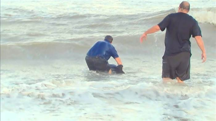 TV reporter rescues 2 beached dolphins stranded after Irma