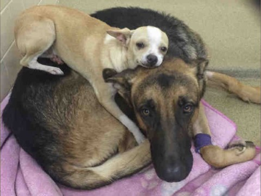 The Arizona Humane Society said two dogs with an inseparable bond are in need of a home. (Photo: Arizona Humane Society)
