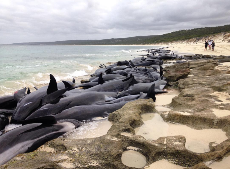 Volunteers risk sharks in effort to save more than 130 beached whales