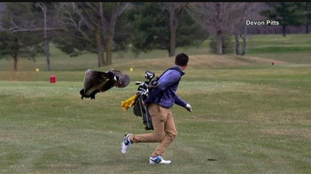 Goose attacks high school golfer during tournament