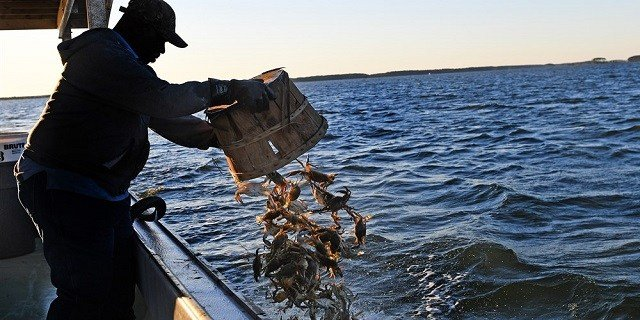 Waterman Monroe Dorsey releases undersized blue crabs from their commercial boat near Hooper Island, Maryland, on June 8, 2016.Linda Davidson / The Washington Post/Getty Images (Photo via NBC News)