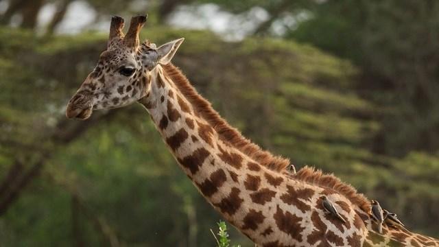 Stock image of giraffe  SOURCE: (Photo by Joosep Martinson/Getty Images for IAAF) (Photo via: WYFF)