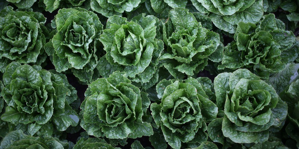 Romaine lettuce finally in the clear — CDC