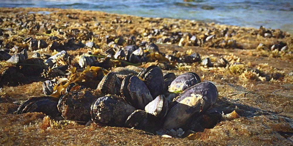 Scientists find opioids, antibiotics in Puget Sound mussels