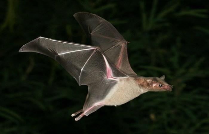 OLD PUEBLO: Vive Tucson sicosis por murciélagos con rabia