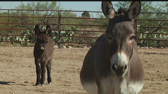 Rescued Mini Donkeys Now Living The Life Kvoa Kvoa Com