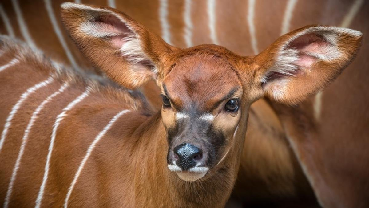 Baby bongo born, more likely soon at Species Survival Center - KVOA ...